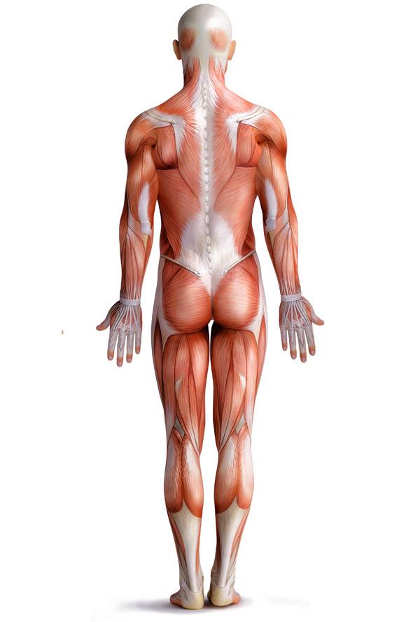 home-muskulatur_ruecken_sporthicum_physiotherapie_bergisch_gladbach_arios_masso_nils_asselborn